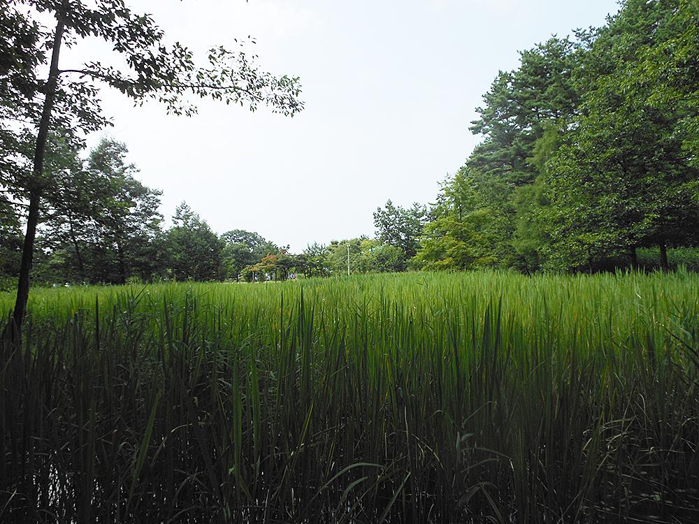 五十公野公園_ざりがに池