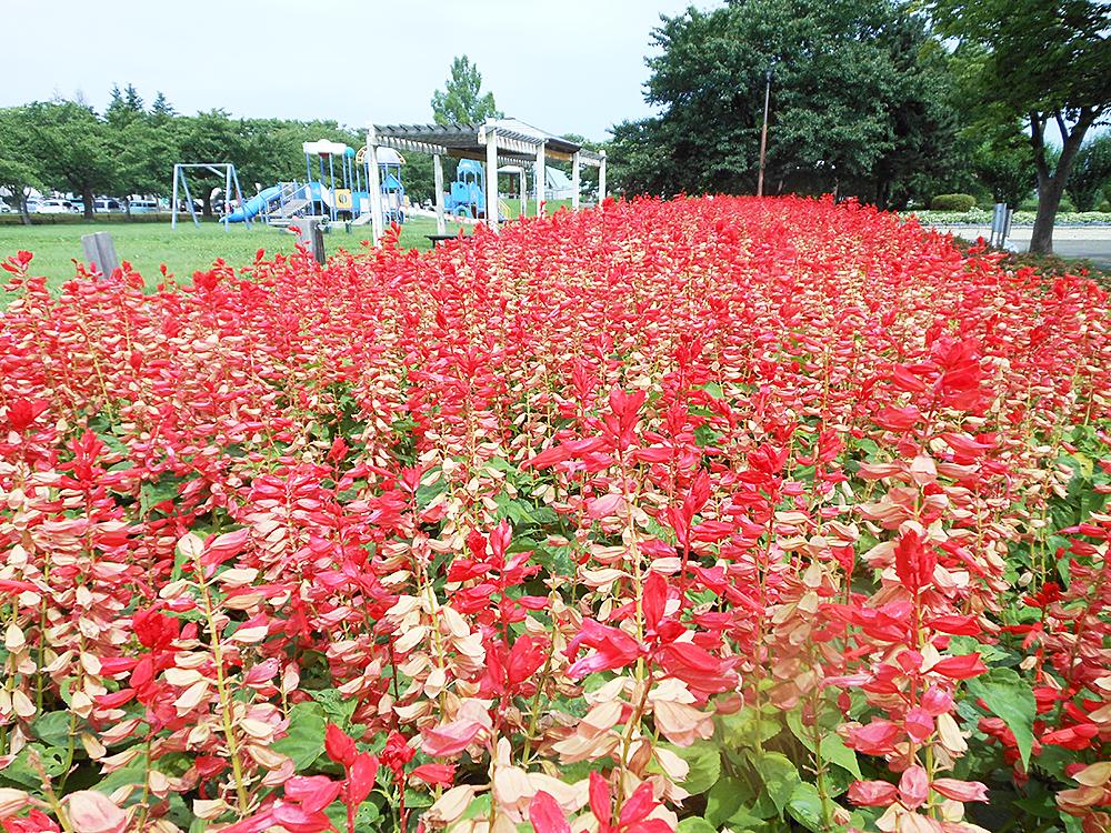 新発田中央公園_サルビア